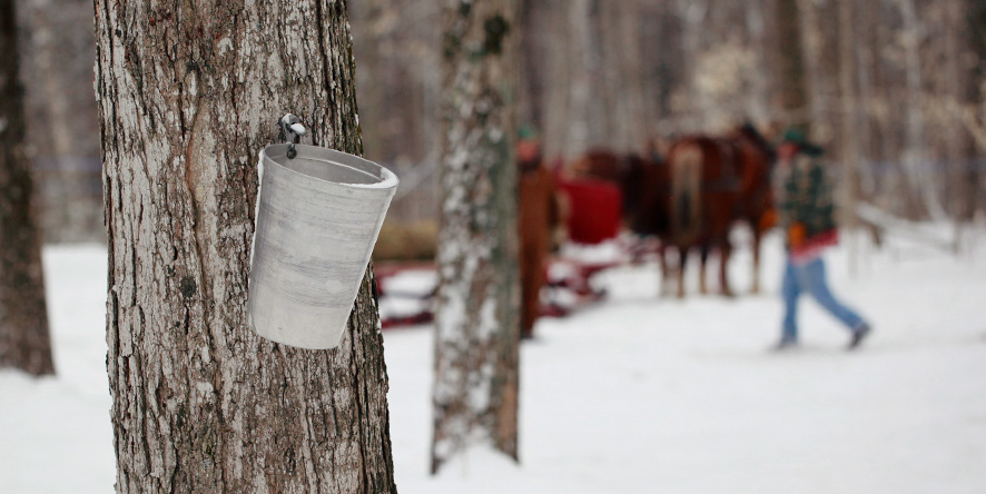 sap bucket on tree in maple sugar bush with snow on ground