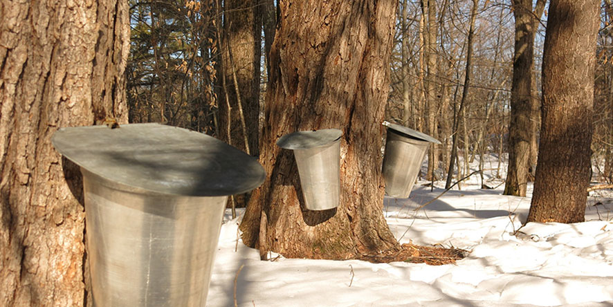 sap buckets on trees in maple sugar bush with snow on ground