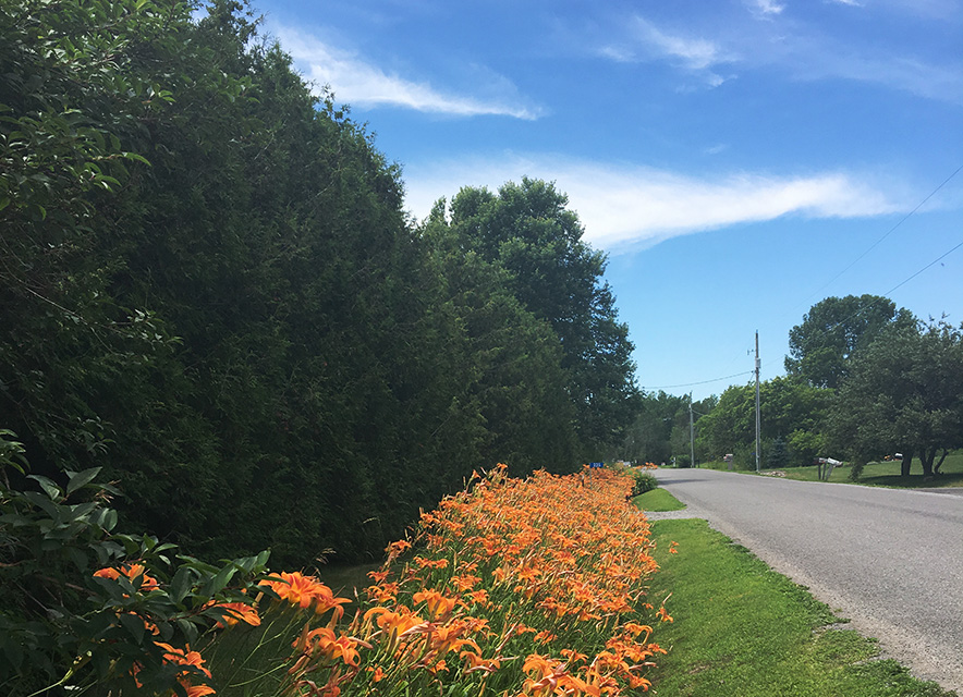 Day lilies along side of road part of Presquile Promise cycling route