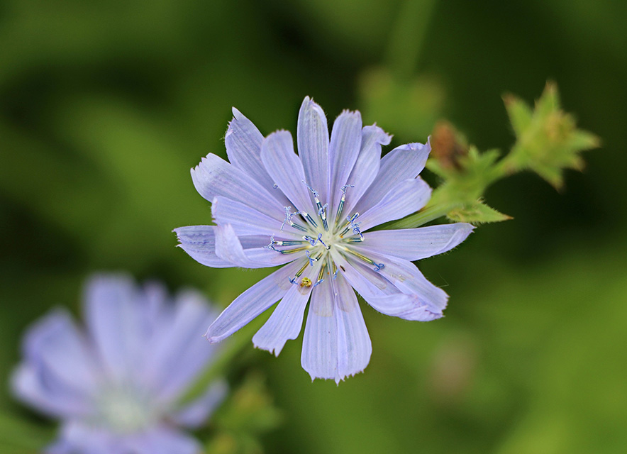 detail of blue chicory flower with green foliage in background