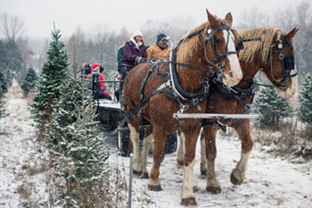 Horse-drawn Sleigh Rides at Christmas Tree farm