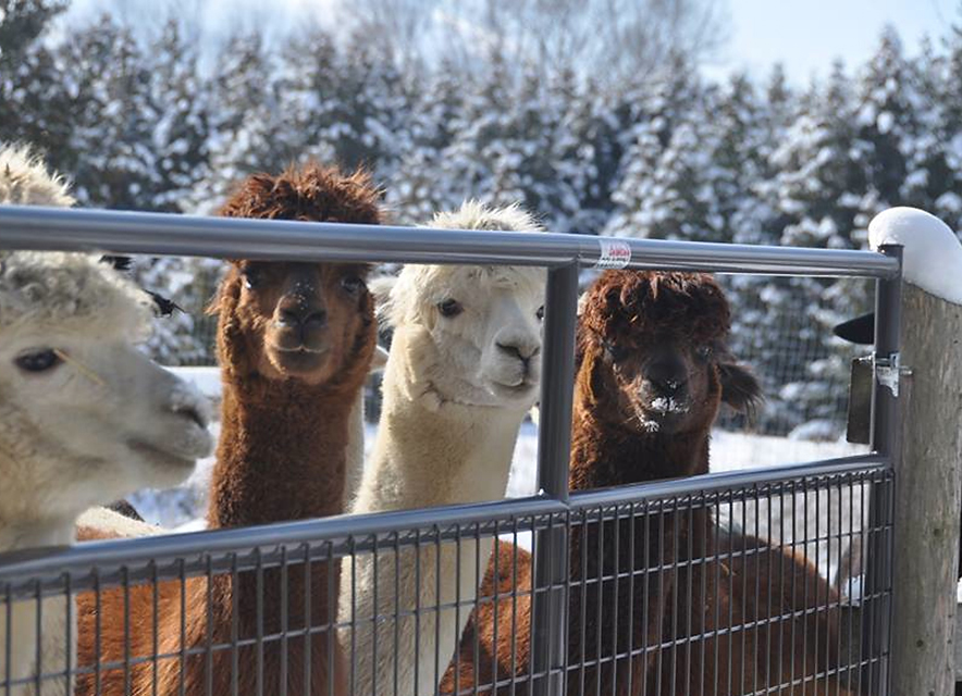 Group of alpacas behind gate in winter