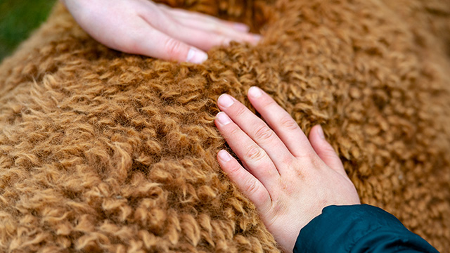 Hands petting wool of alpaca