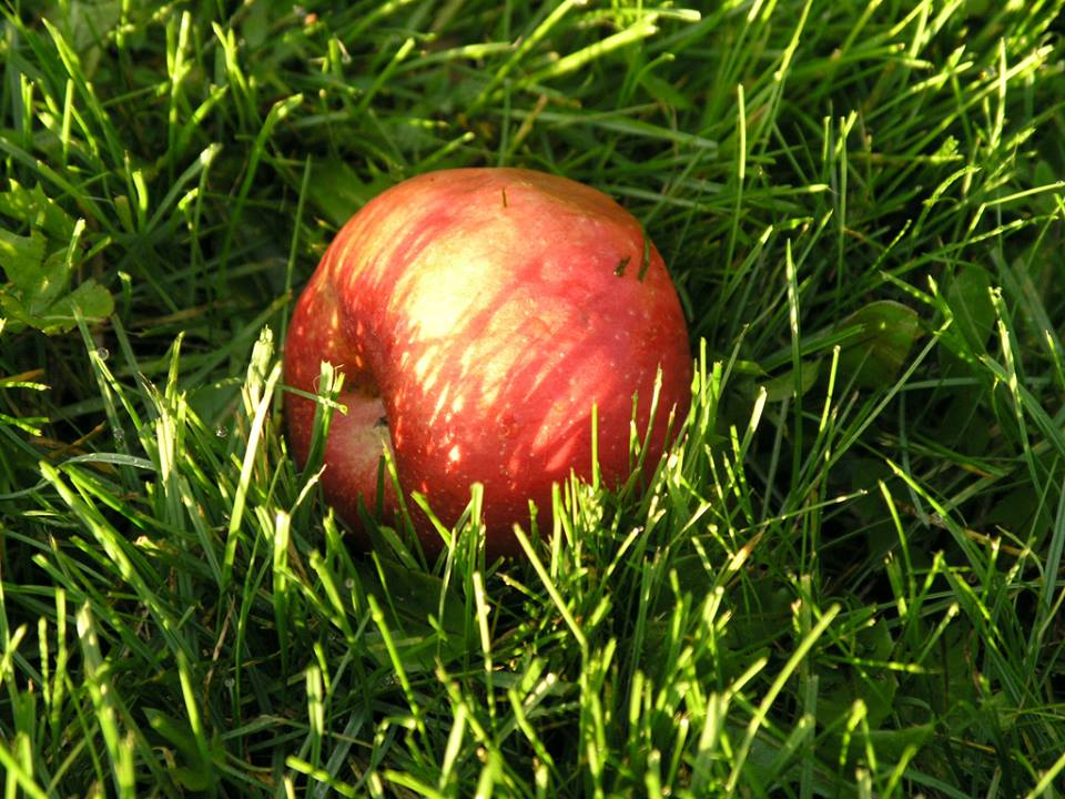 Apple in the grass - Northumberland County, Ontario