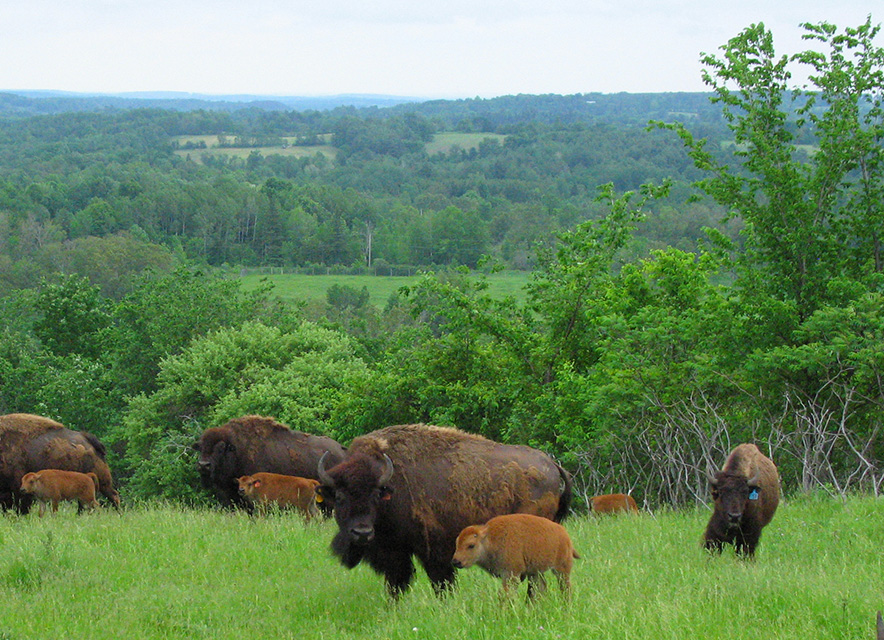 Adult and young bison in field on hill with rolling hills landscape in background