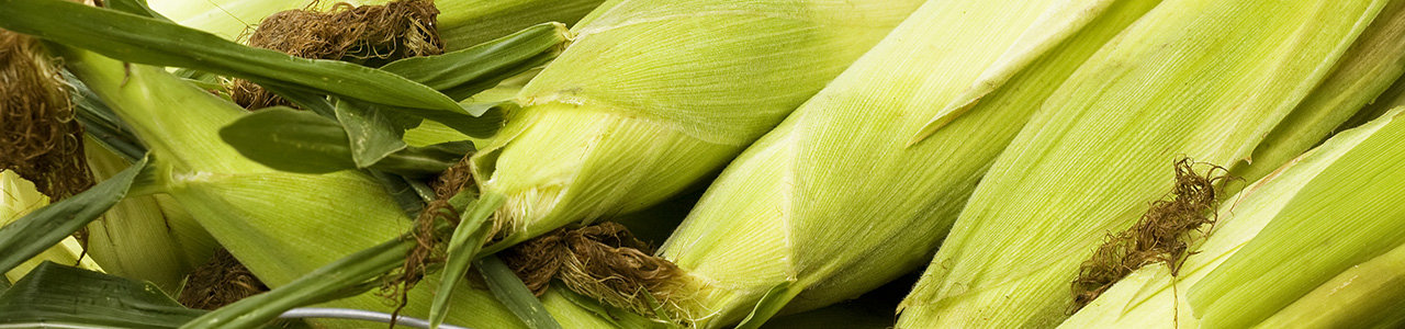 Close up of corn on the cob still in husks