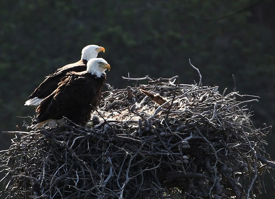 Pair of bald eagles on nest in tree