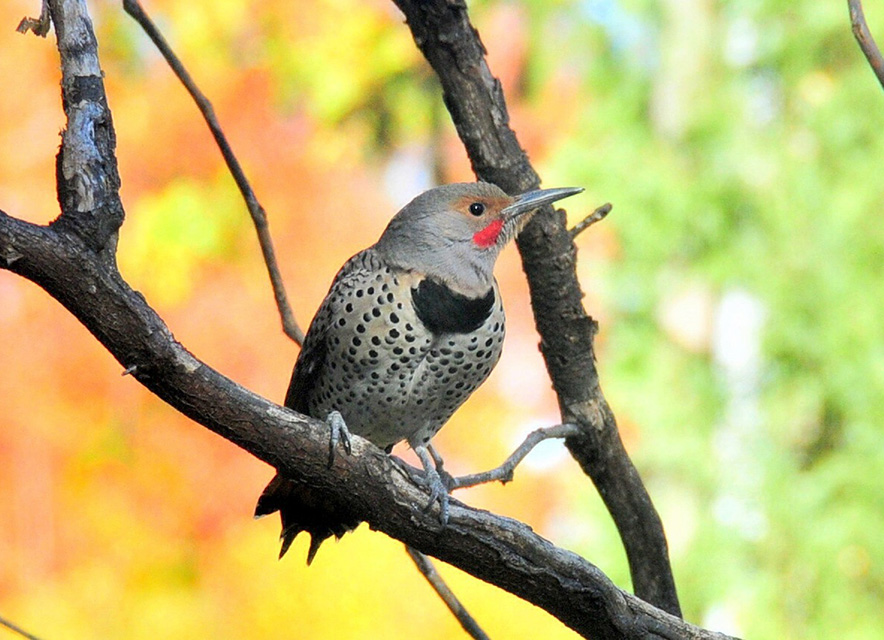 Northern Flicker Woodpecker in tree