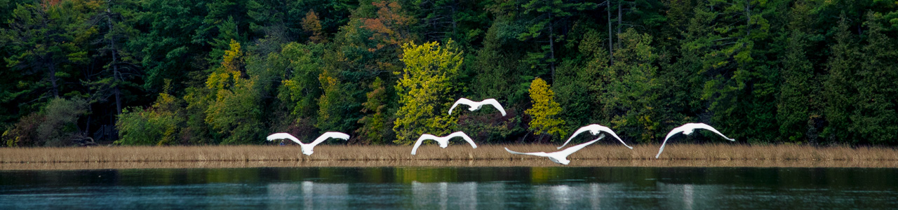 Trumpeter swans in flight over water in fall