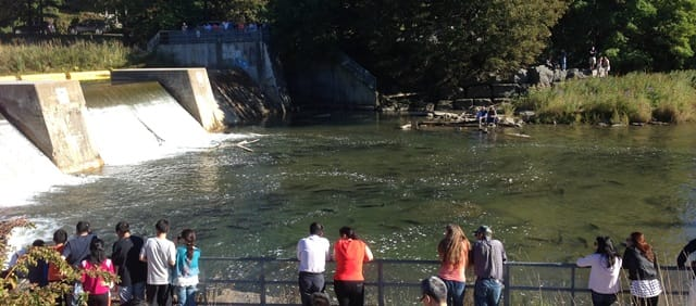 Salmon at the fish ladder in Port Hope, Ontario