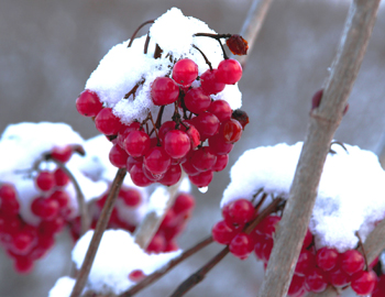 berries covered in snow